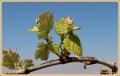 wijnrank_5371_il-tramonto