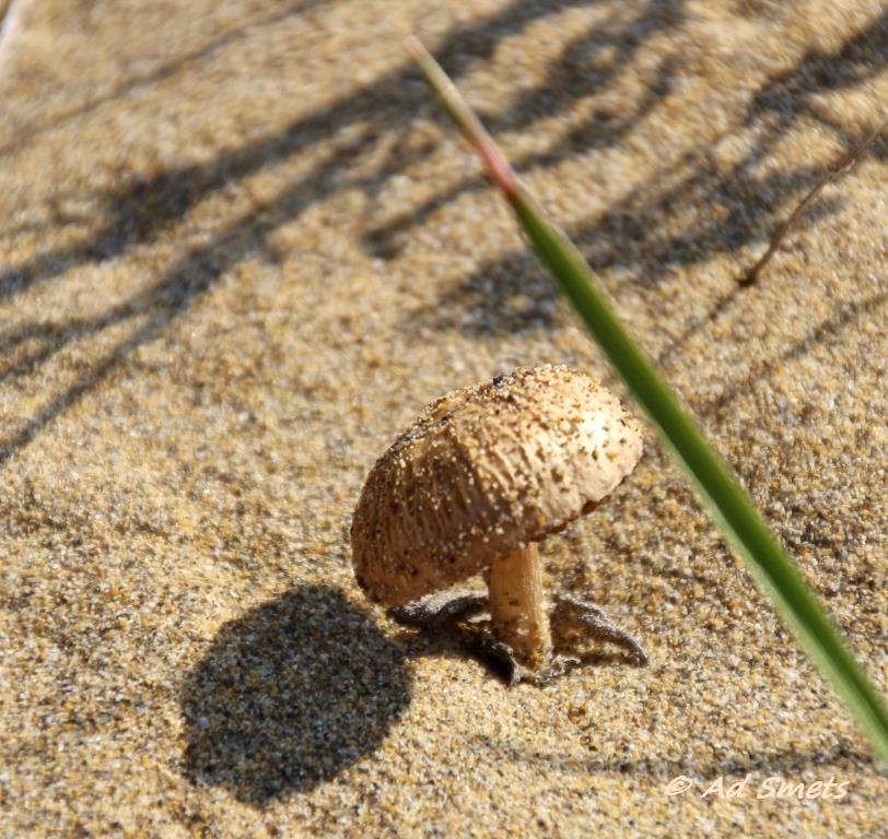paddestoel op strand.JPG