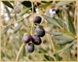 olijvenpluk
