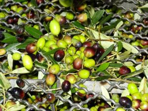 olijven met blad
